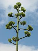 Agáve americká  (Agave americana)