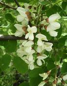 Trnovník akát (Robinia pseudoacacia)