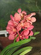 Ascocenda hybrid  (Ascocenda hybrid)