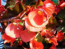 Begonie  (Begonia semperflorens)