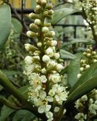 Bobkovišeň lékařská (Prunus laurocerasus)