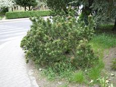 Borovice kleč  (Pinus mugo)