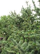 Borovice osinatá (Pinus strobus)
