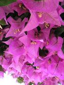 Bugenvilea lepkavá (Bougainvillea glabra)