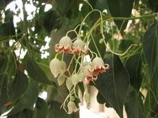 Brachychiton topolovitý (Brachychiton populneus)