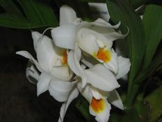 Coelogyne mooreana  (Coelogyne mooreana)