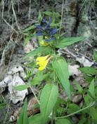 černýš hajní (Melampyrum nemorosum)