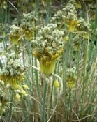 Česnek žlutý (Allium flavum)