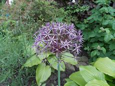 Česnek ozdobný (Allium christophii)