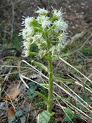 Devětsil bílý (Petasites albus) - Fotografie převzata od rodiny Riegerových=).