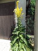 Divizna velkokvětá (Verbascum densiflorum)
