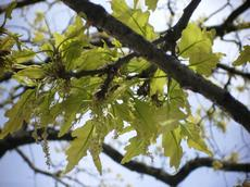 Dub zimní vrbolistý (Quercus petraea salicifolia)