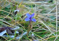 Hořec brvitý (Gentiana ciliata) -  Fotografie převzata od rodiny Riegerových=).