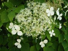 Hortenzie popínavá (Hydrangea petiolaris)