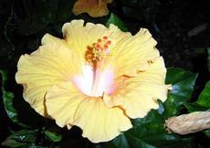 Ibišek - čínská růže (Hibiscus rosa-sinensis)