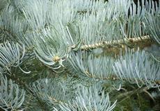 Jedle ojíněná (Abies concolor )