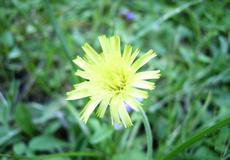 Jestřábník chlupáček (Hieracium pilosella)