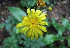 Jestřábník zední (Hieracium murorum)