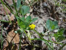 Jetel ladní (Trifolium campestre)