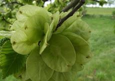 Jilm drsný (Ulmus glabra)