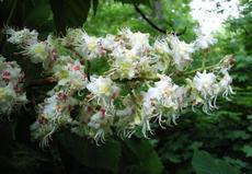 Jírovec maďal (Aesculus hippocastanum)