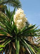 Juka nádherná  (Yucca gloriosa)