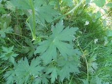 Kakost bahenní (Geranium palustre)