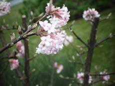 Kalina vonná (Viburnum farreri)