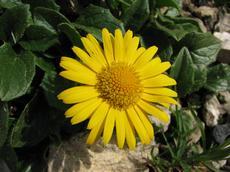 Kamzičník velkokvětý (Doronicum grandiflorum)
