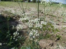 Kerblík lesní (Anthriscus sylvestris)