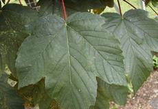Javor klen (Acer pseudoplatanus)