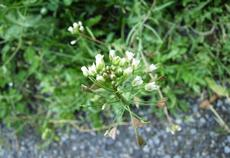 Kokoška pastuší tobolka (Capsella bursa-pastoris)