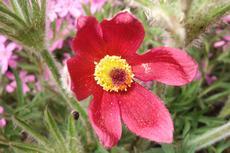 Koniklec německým (obecný) 'Rubra' (Pulsatilla vulgaris 'Rubra') - Fotografie převzaty od Míši Coufalové=).