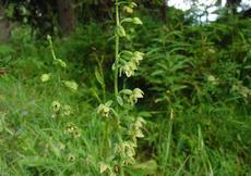 Kýchavice Lobelova (Veratrum lobelianum) -  Fotografie převzaty od rodiny Riegerových=).
