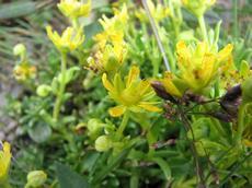 Lomikámen vždyživoucí (Saxifraga aizoides)