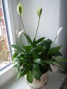 Lopatkovec (Spathiphyllum floribundum)