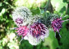 Lopuch plstnatý (Arctium tomentosum)