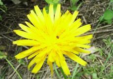Máchelka srstnatá (Arctium tomentosum)