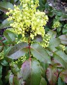 Mahonie cesmínolistá (Mahonia aquifolium)