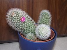 Mammillaria backebergiana (Mammillaria backebergiana)