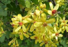 Meruzalka zlatá (Ribes aureum)
