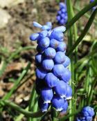 Modřenec hroznatý (Muscari racemosum)