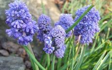Modřenec arménský 'Blue Spike' (Muscari armeniacum 'Blue Spike') - Fotografie převzata od Míši Coufalové=).
