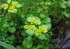 Mokrýš střídavolistý (Chrysosplenium alternifolium) - Fotografie převzata od rodiny Riegerových=).