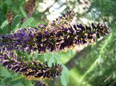 Netřesk střešní  (Netvařec křovitý (Amorpha fruticosa))