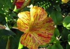 Nocenka zahradní (Mirabilis jalapa)