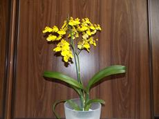 Oncidium 'Sweet Sugar' (Oncidium 'Sweet Sugar')