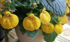 Kalcelorárie  (Calceolaria herbeohybrida) - Fotografie převzata od Míši Coufalové=).