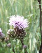 Pcháč šedý (Cirsium canum)