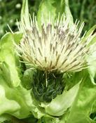 Pcháč lepkavý (Cirsium erisithales)